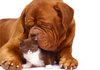 French Mastiff